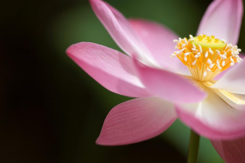 an open lotus flower  sherrie rashid, Beautiful flower